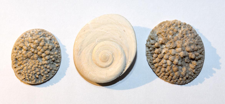 Operculum Turbo sarmaticus