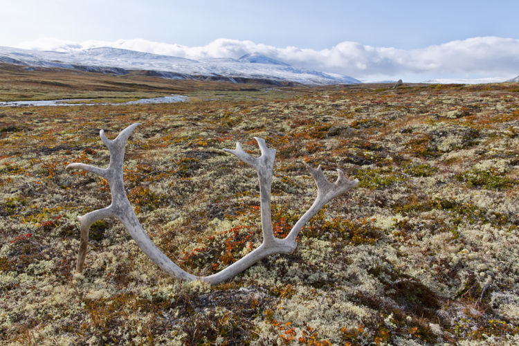 Antler reindeer Dovrefjell