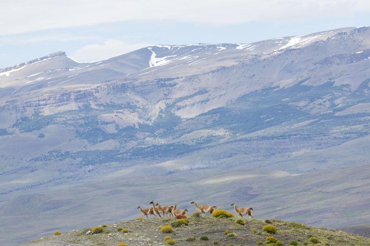 Guanacos Torres del Paine