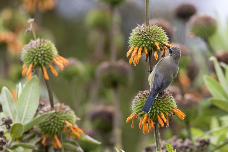 Sunbird Harenna