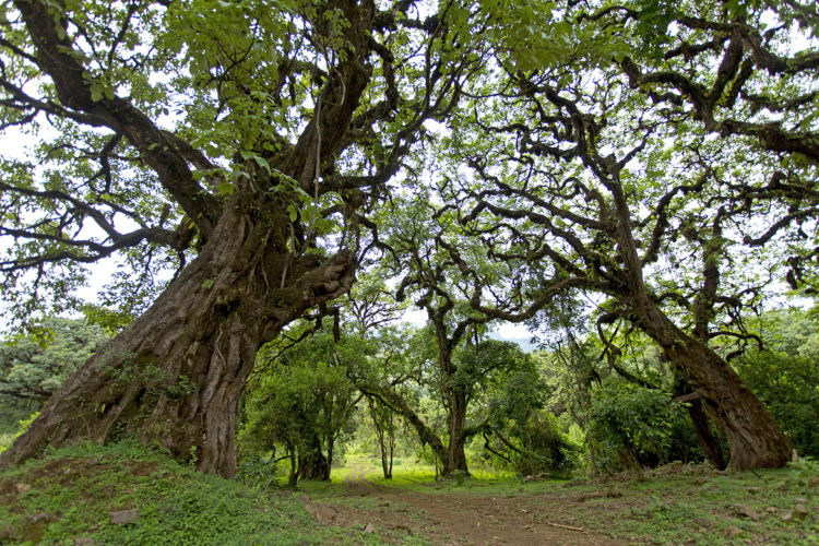Fig trees Harenna Forest