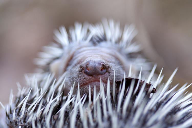 Baby European hedgehog