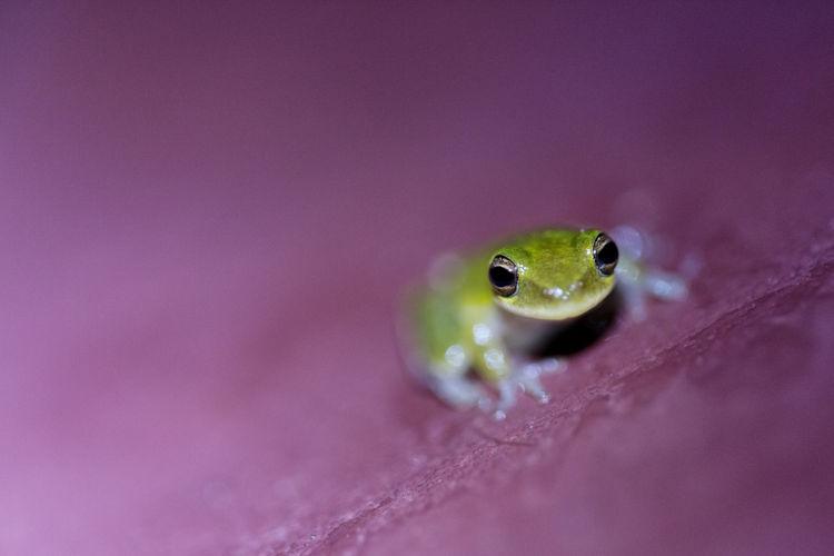 Florida treefrog
