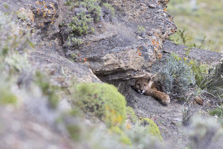 Torres del Paine puma
