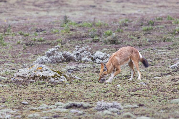 Ethiopian wolf prey