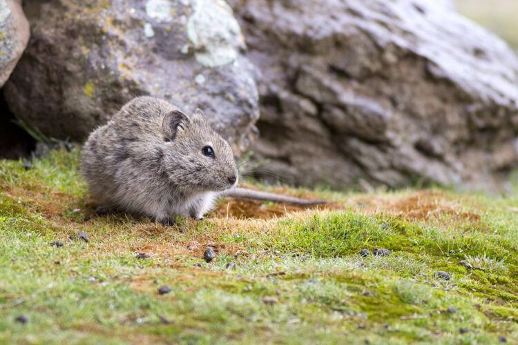 Grass rat species