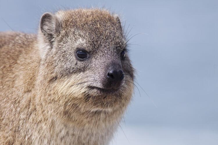 'Dassie' or rock hyrax