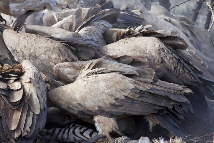 Frenzy of white-backed vultures