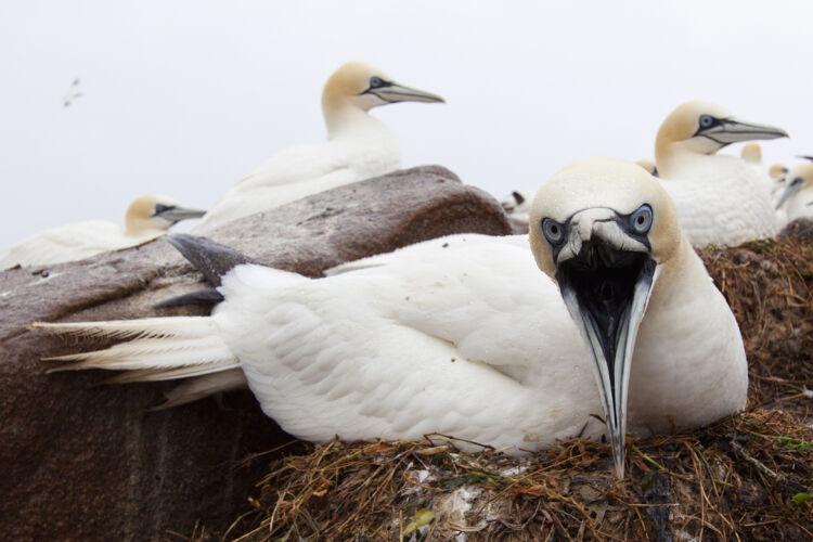 Northern Gannet nest