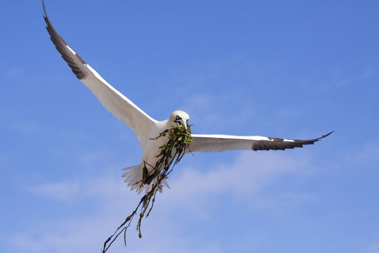 Northern Gannet nesting material