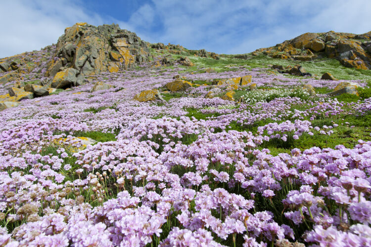 Sea cliff filled with thrift