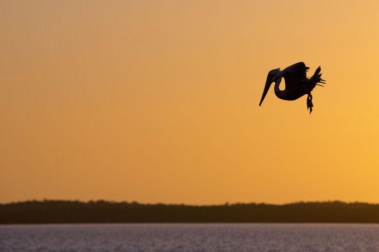 Silhouette diving brown pelican