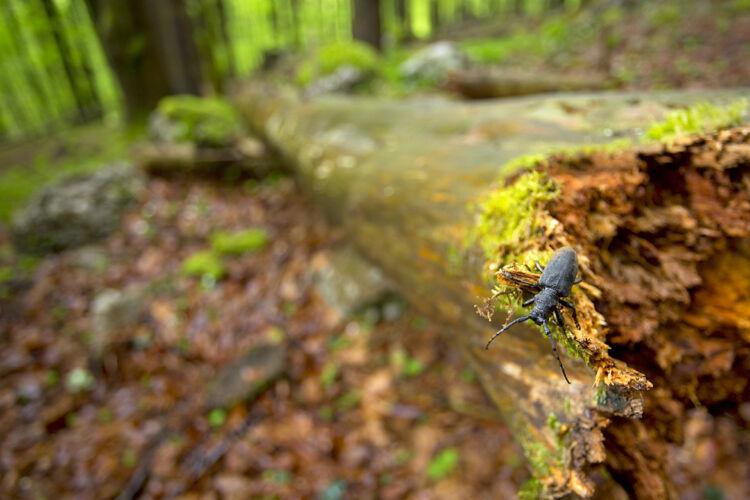Dead wood beetle