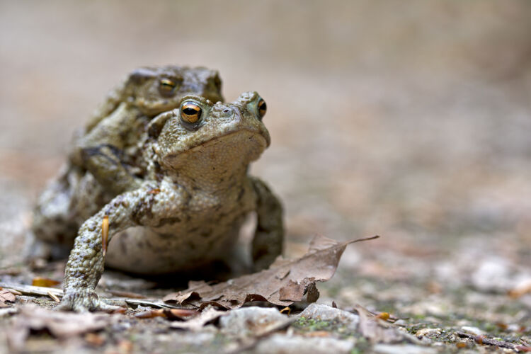 Common toad mating